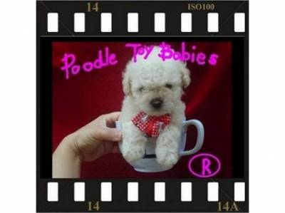 SOMENTE POODLE MICRO E POODLE TOY LOVPUPPIESKENNEL