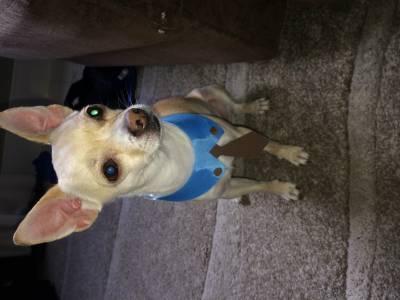 Procuro uma fema Chihuahua