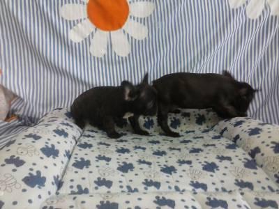 Bulldog pretos tigrados canil de alto padrao