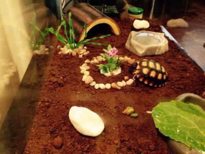 Casal de tartaruga de terra - jabutipiranga