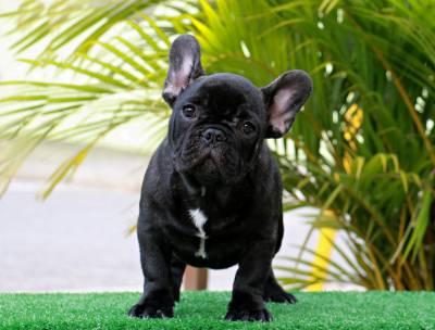 Lindos filhotes de Bulldog Francês padrão europeu