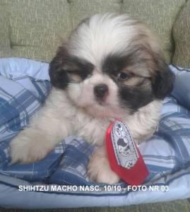 shihtzu macho bicolor -