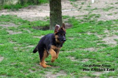 Cães de Pastor Alemão - Vom Leonhard Land