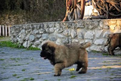 Cão Serra da Estrela