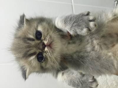 Gatos Exóticos Machos
