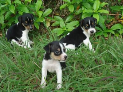 Filhotes de Fox Paulistinha Terrier Brasileiro