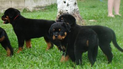 Rottweiler filhote RJ