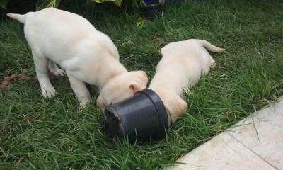 Filhotes de Labrador com Pedigree