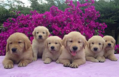 Filhotes Show de Golden Retriever - Pedigree
