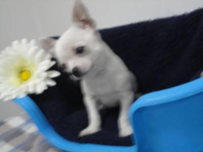 Chihuahua de Carteira
