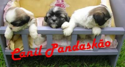 Canil Pandaskão - Lhasa Apso