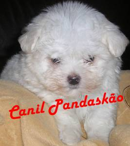 Canil Pandaskão - Maltês