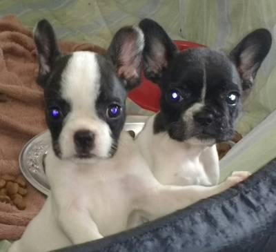 Filhotes de bulldogue Francês Exótico