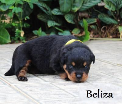 Rottweilers - As mais nobres e premiadas linhagens