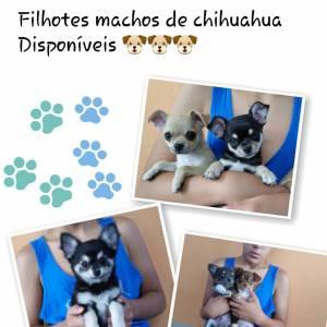 Lindos Machos de Chihuahua