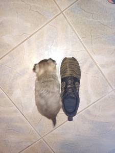 Chihuahua de pêlo comprido