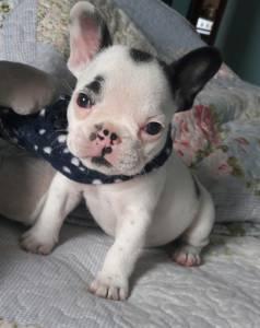 Linda fêmea de Bulldog Francês