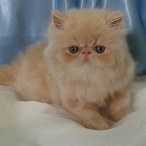 gatas persas verdadeiras fofuras