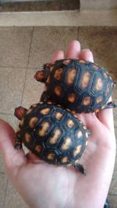 onde comprar tartaruga em São Paulo