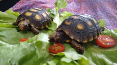 Filhote de tartaruga  de terra a venda em SP