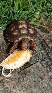 Tartaruga para simpatia de bronquite