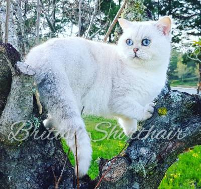 British Shorthair Chinchilla ns