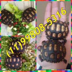 Lindos filhotes tartaruga  de terra disponível