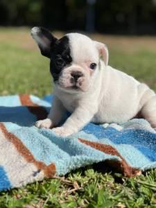 Femeas de Bulldog Frances preto e branco
