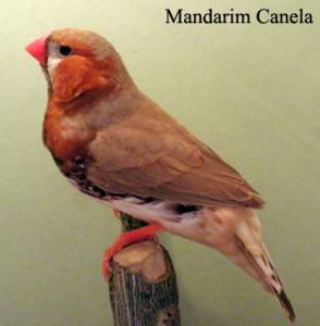 Manons Mandarins Bavete Degoladfo Red rumped