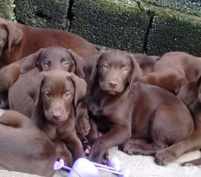 Labrador Chocolate belos filhotes confira