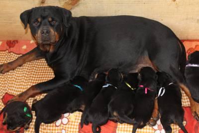 Rottweiler - Pais importados da Alemanha