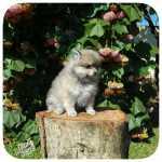 Lindos filhotes  Spitz Alemão Lulu da Pomerania