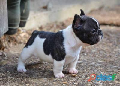 Nova ninhada de Bulldog Francês