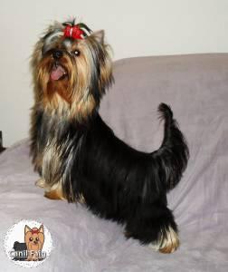 Yorkshire Terrier - Canil Faig