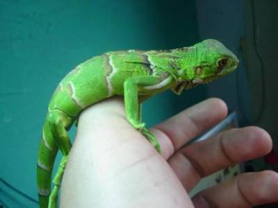 Iguana verde saudável e mansa