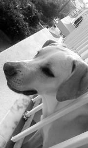 Scafia Labrador onze meses doação