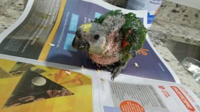 Papagaio verdadeiro   boiadeiro