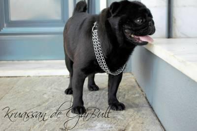 Pug preto com pedigree