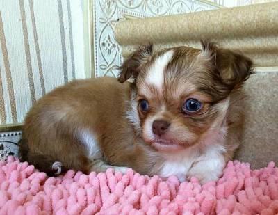 Feminha Chihuahua