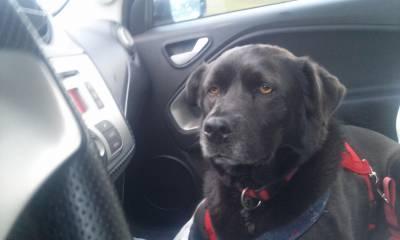 Cadela labrador arraçada - preta