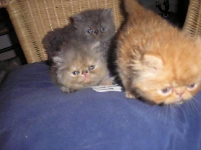 Gatinhos persas exoticos lisboa