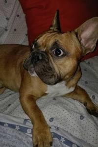 Bulldog Francês Macho para Acasalar