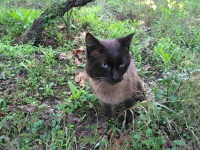 Encontrei gato siamês