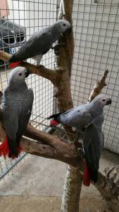 Papagaios cinzentos cauda vermelha