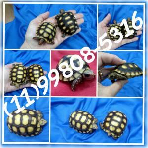 Tartaruga terrestre filhote - jovem ou adulto