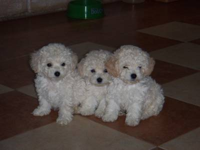 Poodle lindos filhotes já vacinados