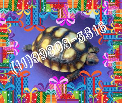 Tartaruga Bebê entrega imediata