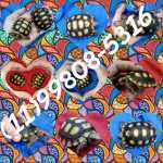 Tartaruga - Jabuti