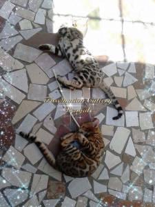 Bengal Lindos Filhotes Selecionados