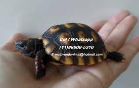 Jabutipiranga - tartaruga terra